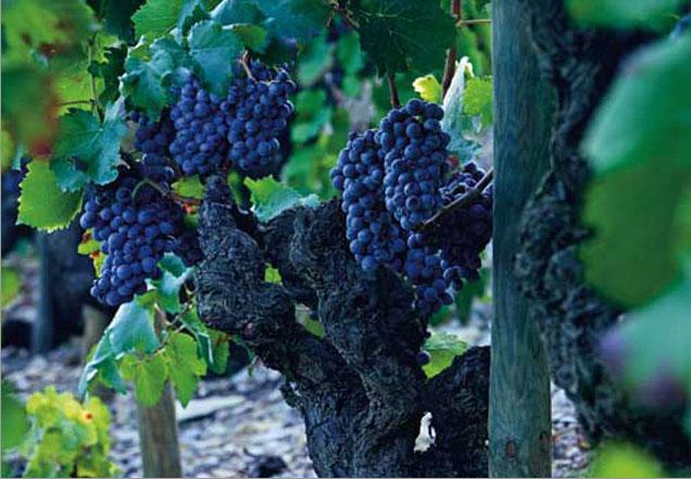 Uvas en los viñedos de Espectacle de Montsant, Cataluña
