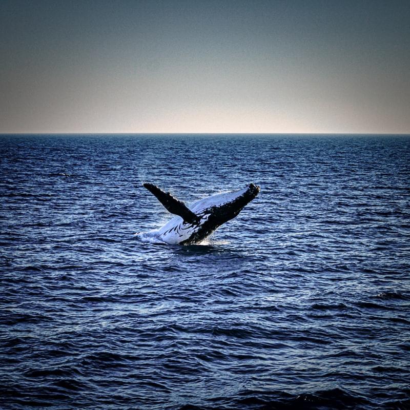 Whale. Foto de: un splash.com